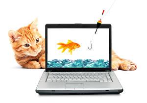 Картинка Коты Рыбы Удочка Белый фон Рыжий Ноутбуки Животные