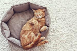 Фотография Коты Рыжий Спящий Животные