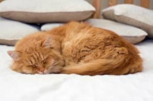 Фото Коты Рыжий Спящий Животные