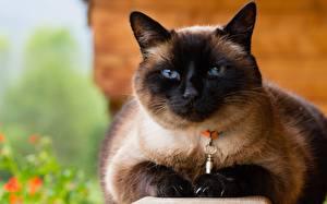 Фото Коты Смотрит Siamese