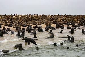 Фотографии Берег Тюлени Много Cape Cross Seal Colony Namibia