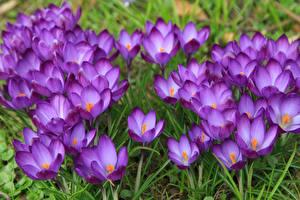 Картинки Шафран Вблизи Цветы