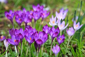 Обои Шафран Вблизи Цветы