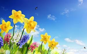 Фотографии Нарциссы Небо Цветы