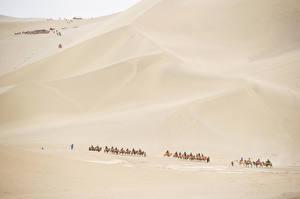 Картинки Пустыни Верблюды Песок