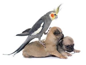 Фотографии Собаки Птицы Попугаи Белый фон Щенок Животные