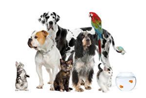 Фотография Собаки Коты Рыбы Попугаи Белый фон Бульдог Спаниель Животные