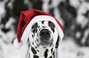 Фотографии Собаки Новый год Далматинец Шапки Взгляд Морда Животные