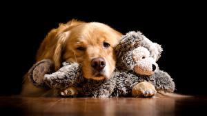 Фотографии Собаки Золотистый ретривер Игрушки Черный фон Животные