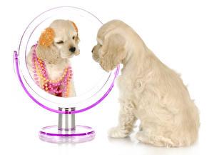 Картинка Собаки Украшения Белый фон Спаниель Зеркало Щенок