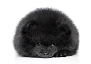 Картинка Собаки Белый фон Щенок Шпиц Черный Pomeranian spitz Животные