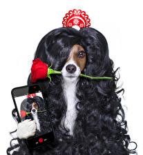 Картинки Собаки Розы Белый фон Волосы Джек-рассел-терьер Смартфон Забавные Селфи