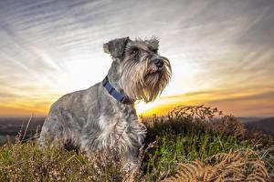 Картинки Собаки Рассветы и закаты Шнауцер Трава Животные