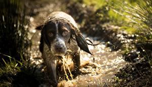 Фотография Собаки Мокрые Спаниель Смотрит Животные