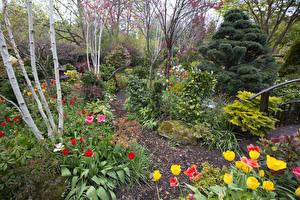Фотография Англия Сады Тюльпаны Кусты Walsall Garden Природа