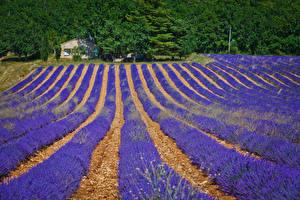 Фотографии Франция Поля Лаванда Valensole Природа