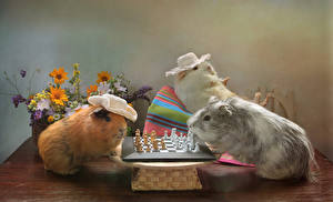 Фотографии Морские свинки Шахматы Трое 3 Шляпа Животные