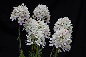Фотография Орхидеи Вблизи Черный фон Белый Цветы