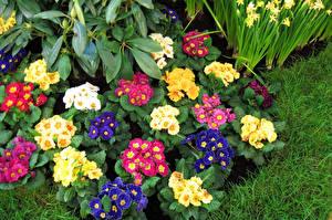 Картинки Первоцвет Разноцветные Цветы