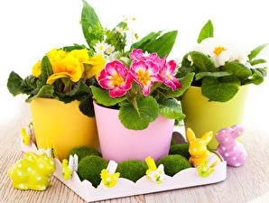 Обои Первоцвет Кролик Разноцветные Прищепки Цветочный горшок Цветы