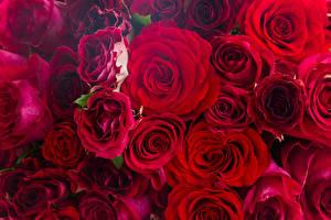 Обои Розы Вблизи Много Красный Цветы