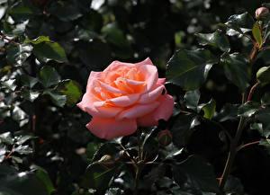 Фотография Розы Вблизи Розовый Бутон Ветвь Цветы
