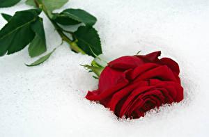 Фото Розы Крупным планом Красный Снег Цветы