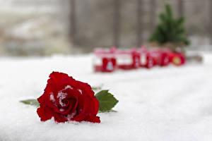 Обои Розы Вблизи Красный Снег Цветы