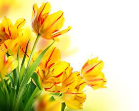 Фотография Тюльпаны Вблизи Белый фон Желтый Цветы