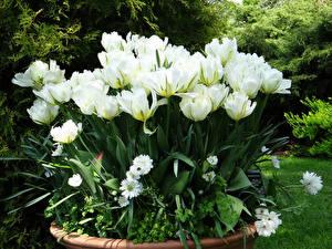 Фотография Тюльпаны Белая цветок