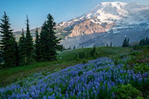 Картинка Штаты Парки Горы Люпин Ель Mount Rainier National Park Природа