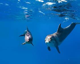 Картинка Подводный мир Дельфины Вдвоем Животные