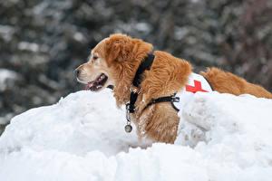 Фотографии Зима Собака Снег Ретривер Животные
