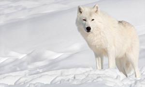 Картинка Зимние Волки Снег Белый Животные