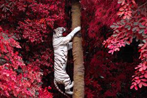 Фотография Большие кошки Тигры Ствол дерева Белый