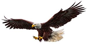 Картинки Птицы Орлы Крылья Белый фон Животные