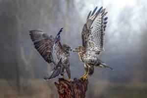 Картинки Птицы Сокол 2 Крылья Животные