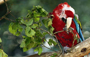 Картинка Птицы Попугаи Ветки Клюв