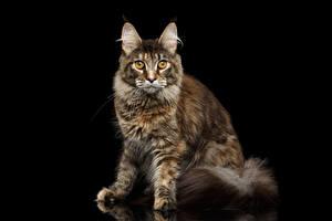Картинка Коты Черный фон Смотрит Животные