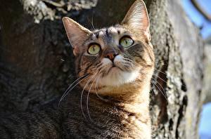Картинки Коты Смотрит Усы Вибриссы Животные