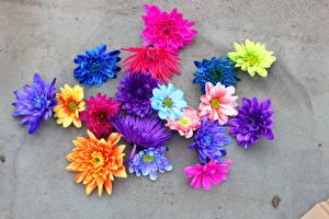 Картинки Хризантемы Крупным планом Разноцветные