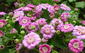 Обои Цинерария Крупным планом Розовый Бутон Цветы