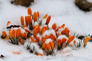 Картинка Шафран Оранжевый Снег