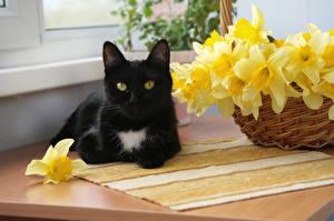 Фотография Нарциссы Коты Черный Животные
