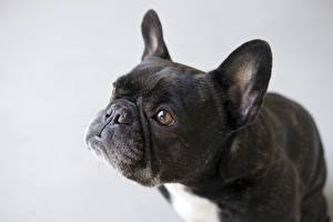 Фото Собака Черные Серые Бульдог Смотрит Морда Животные