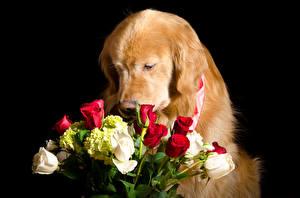 Фотографии Собаки Голден Букеты Розы Черный фон Животные Цветы