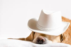 Картинки Собаки Голден Шляпа Животные