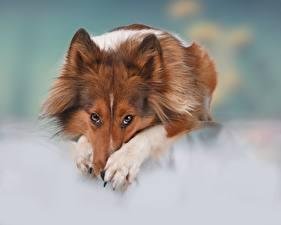 Фотографии Собаки Шелти шетландская овчарка Взгляд Лапы