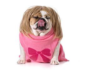 Картинки Собаки Белый фон Забавные Волосы Бульдог Свитер Язык (анатомия) Животные
