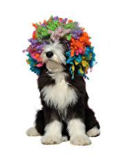 Картинка Собаки Белый фон Волосы Разноцветные Животные
